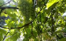 Виноград: посадка и уход в Подмосковье, обрезка и вредители